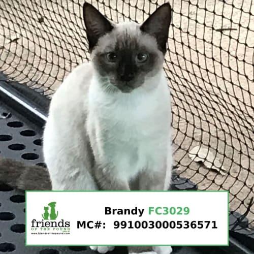 Brandy and Snowflake - Oriental Cat