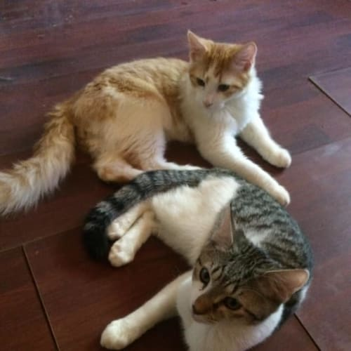 Tommy & Henry - Domestic Long Hair Cat