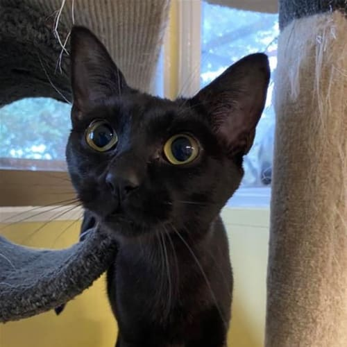 Estelle - Domestic Short Hair Cat