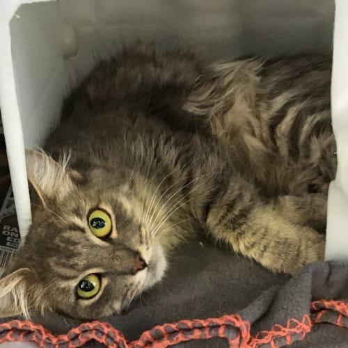 Blossom - Domestic Medium Hair Cat