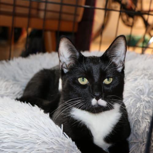 Stan - Domestic Short Hair Cat