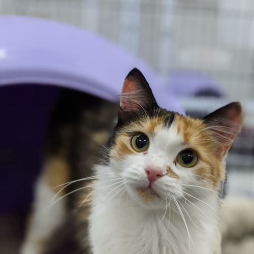 Chloe - Domestic Medium Hair Cat