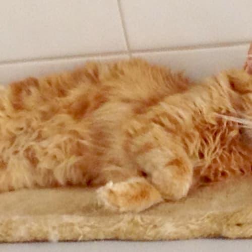 Gavin - Domestic Medium Hair Cat