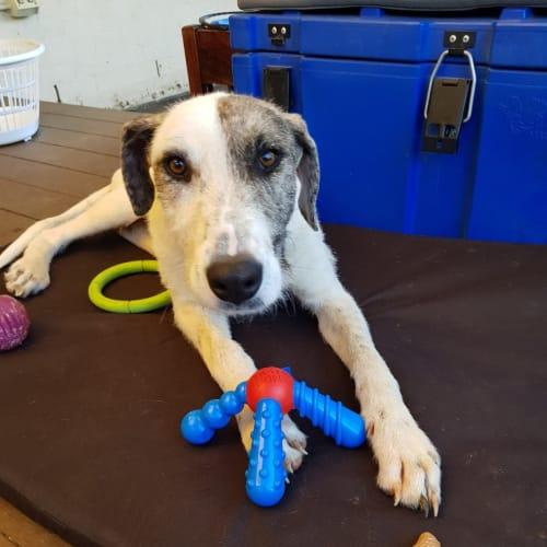Paddy - Wolfhound Dog