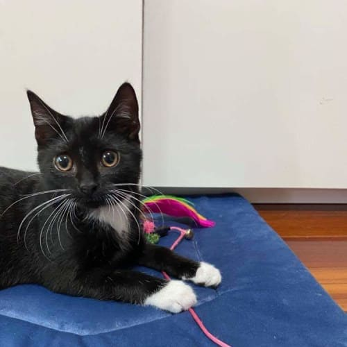 Tex (Located in Mill Park) - Domestic Short Hair Cat