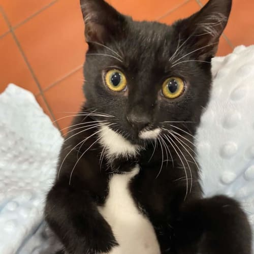 Chicago (Located in Mill Park) - Domestic Short Hair Cat