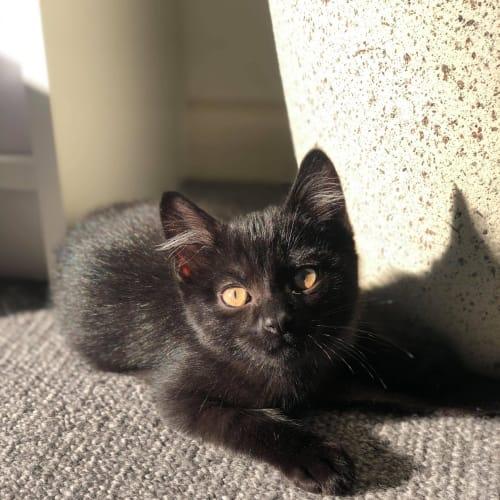 Cinnamon (Located in Hawthorn) - Domestic Short Hair Cat