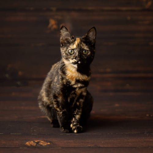 Raven - Domestic Short Hair Cat