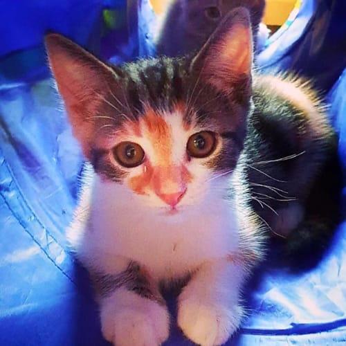 Verity - Domestic Short Hair Cat