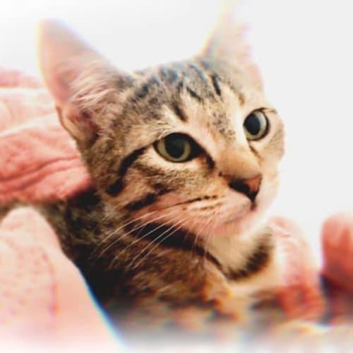 2338 - Axie - Domestic Short Hair Cat