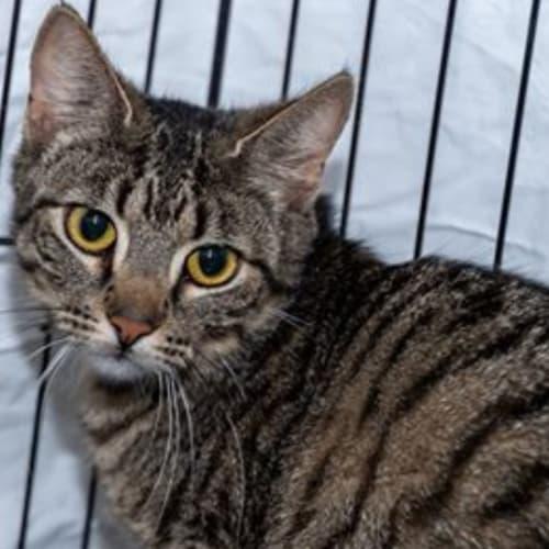 Selene - Domestic Short Hair Cat
