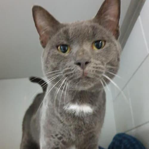 Gunnar - Domestic Short Hair Cat