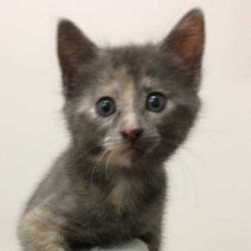 Darcy - Domestic Short Hair Cat