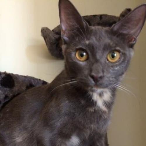 Isabelle (Daphne) - Domestic Short Hair Cat