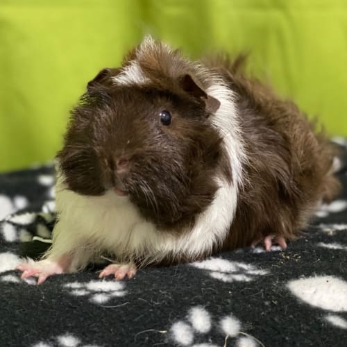 Rio - Desexed (available from the 15/04/2020) - Abyssinian Guinea Pig