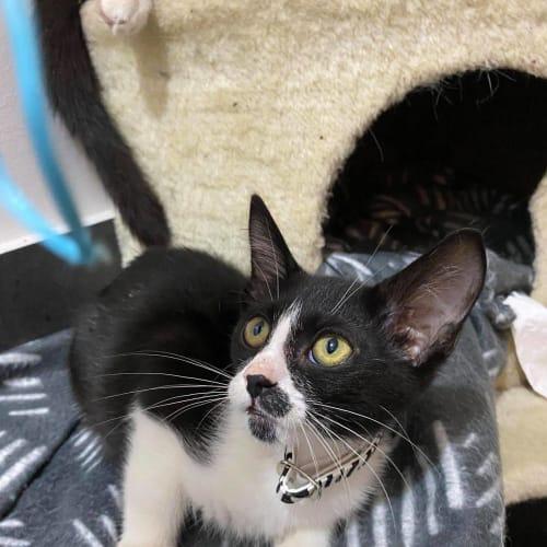 Adolf - Domestic Short Hair Cat