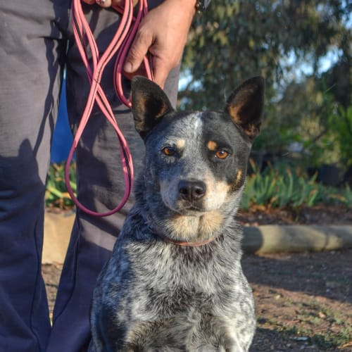 Izzy - Australian Cattle Dog