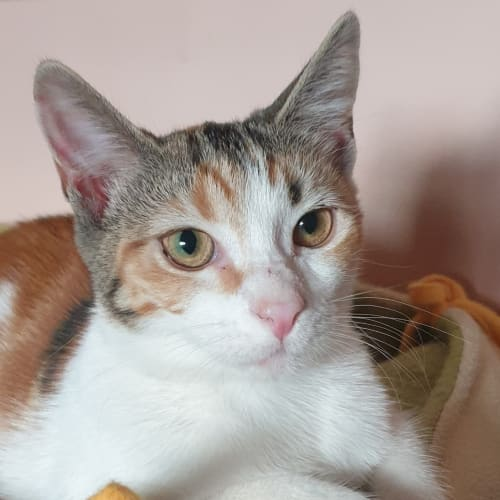 Adorable Amber - Domestic Short Hair Cat