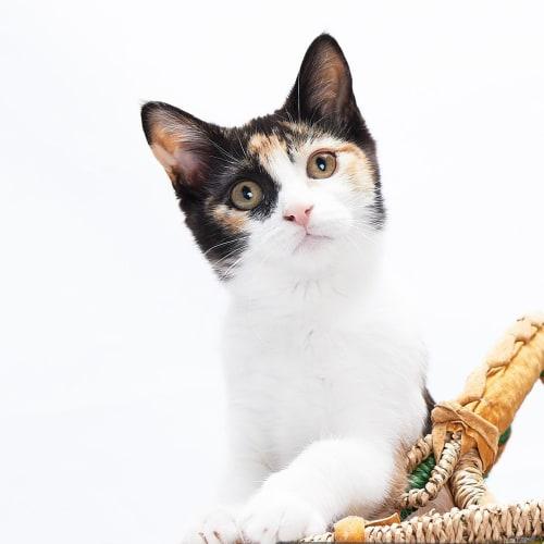 Perfect Pearl - Domestic Short Hair Cat