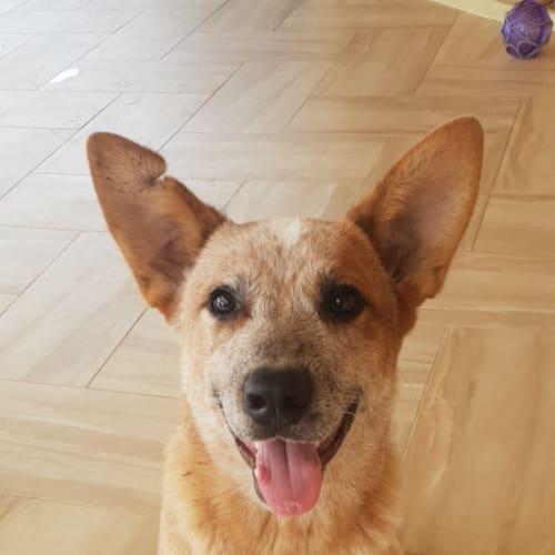 Scooby doo - Red Heeler Dog
