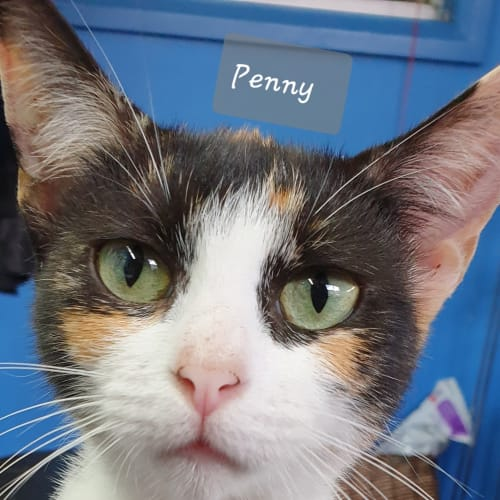 Penny and Peggy - Domestic Short Hair Cat