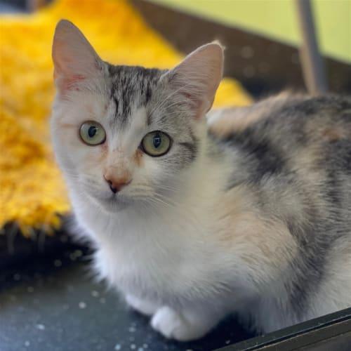 Lass  - Domestic Short Hair Cat