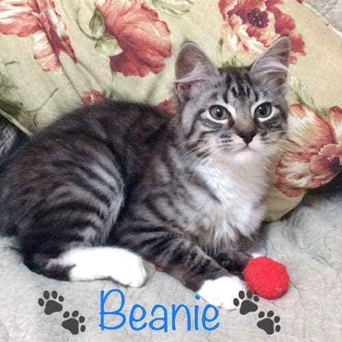 Beanie  - Domestic Medium Hair Cat