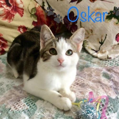 Oskar - Domestic Short Hair Cat