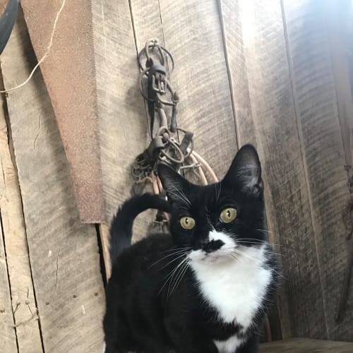 Cora  - Domestic Short Hair Cat