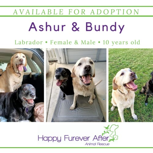 Ashur & Bundy - Labrador Dog