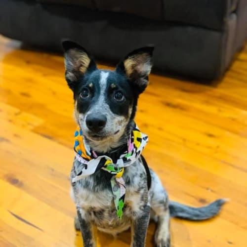 Rue - Australian Cattle Dog