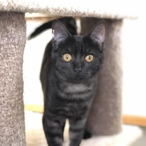 Jondy - Domestic Short Hair Cat