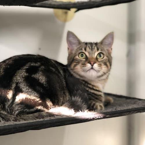 Dobby - Domestic Short Hair Cat