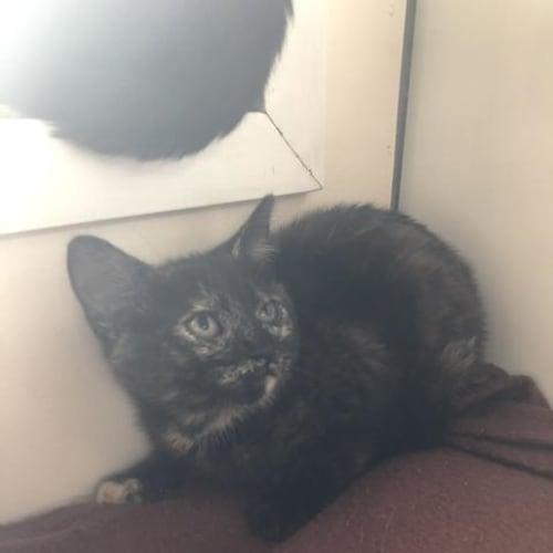 Alisa - Domestic Short Hair Cat