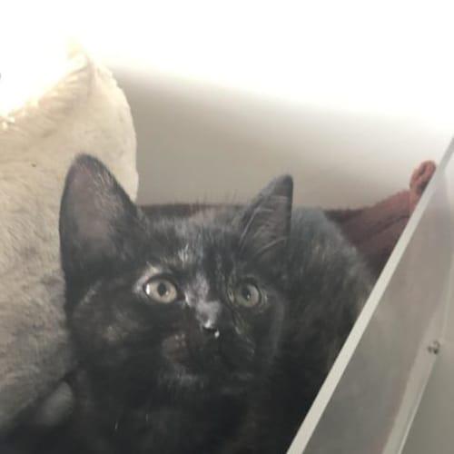 Alora - Domestic Short Hair Cat
