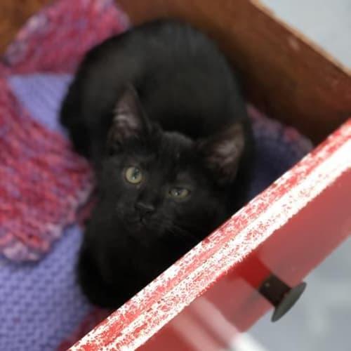 Samson - Domestic Short Hair Cat