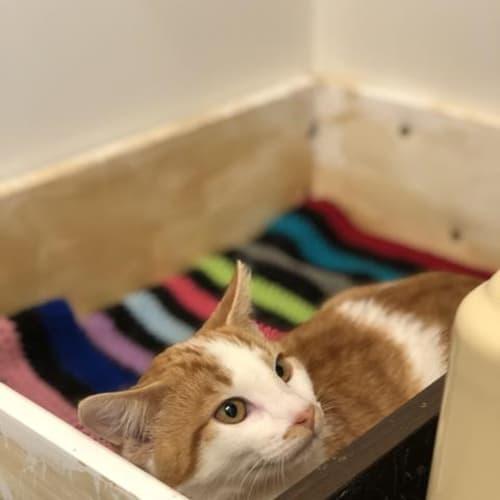 Kaiser - Domestic Short Hair Cat