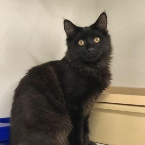 Ronnie - Domestic Short Hair Cat