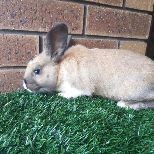 Jasmine - Bunny Rabbit