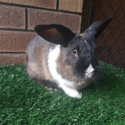 Daisy - Bunny Rabbit