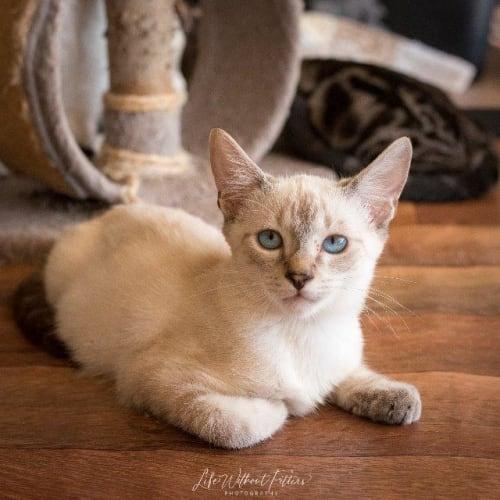 Taj - Siamese Cat