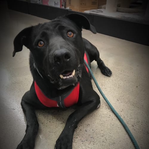 Sam - American Staffordshire Bull Terrier Dog