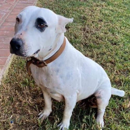 Rosie - Amstaff x Australian Bulldog