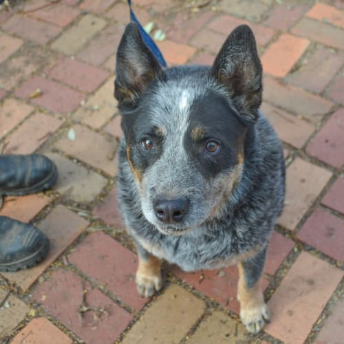 Diesel  - Australian Cattle Dog