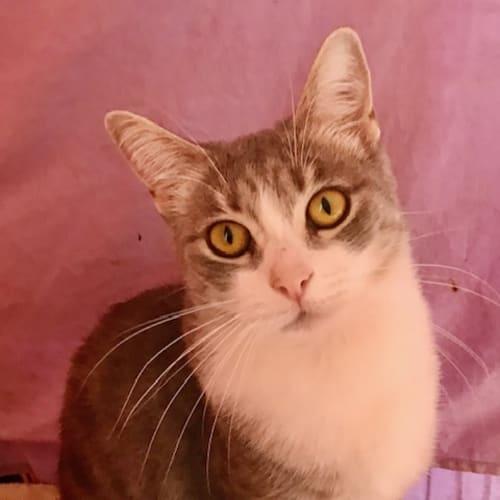 Linda - Domestic Short Hair Cat
