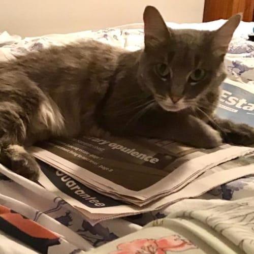 Bonnie - Domestic Medium Hair Cat