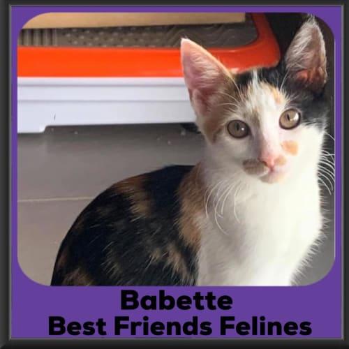 Babette  - Domestic Short Hair Cat