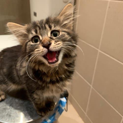 Bingo - Domestic Medium Hair Cat