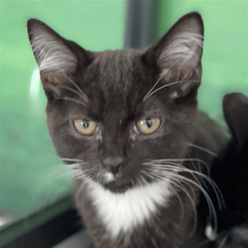 Sadie - Domestic Short Hair Cat
