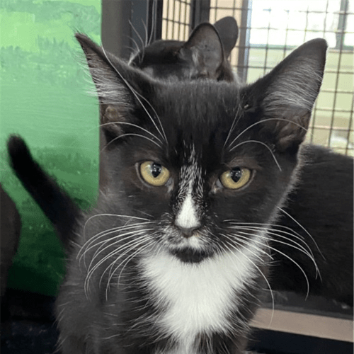 Binx - Domestic Short Hair Cat
